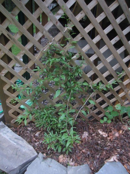 Some goji berries trellised up  the side of our deck