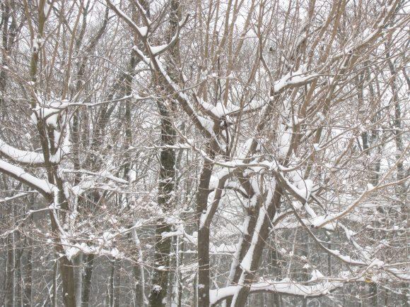 winter snow 09Feb2017 - trees 2