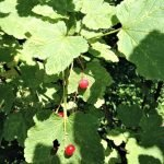 red currants in July