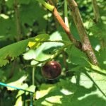 black currant hanging on bush in July