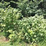3 currant bushes along tree line on our property