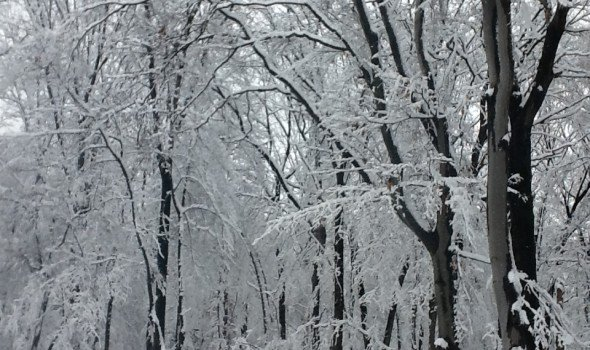 winter snow in the trees