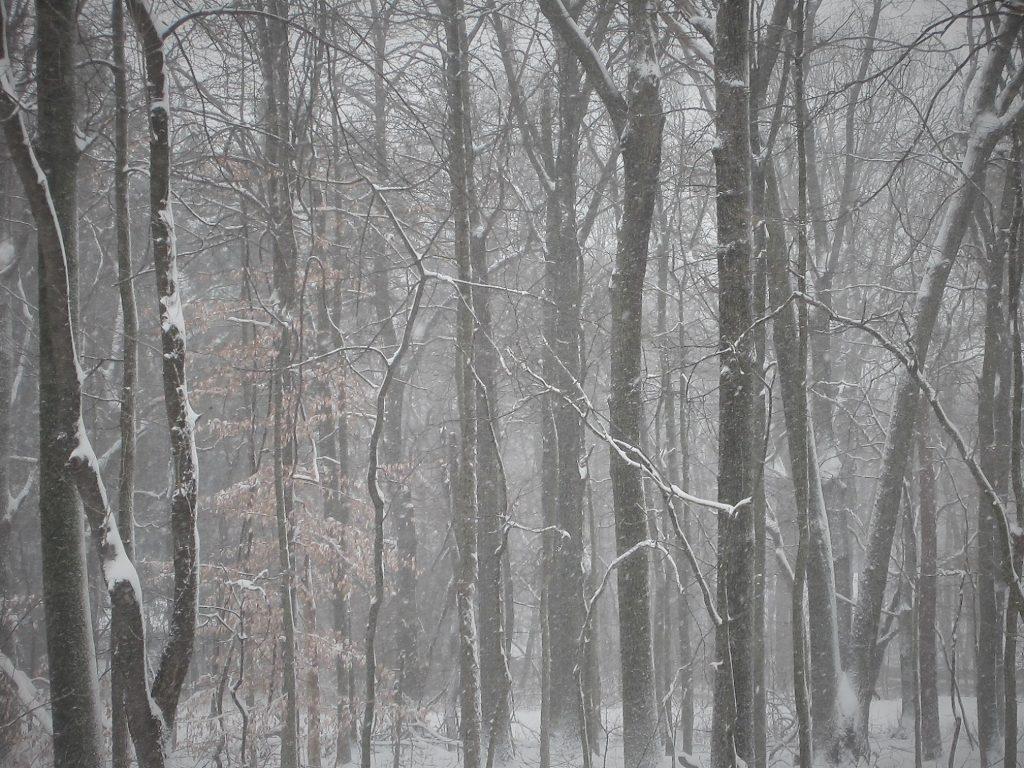 winter snow 09Feb2017 - trees 3
