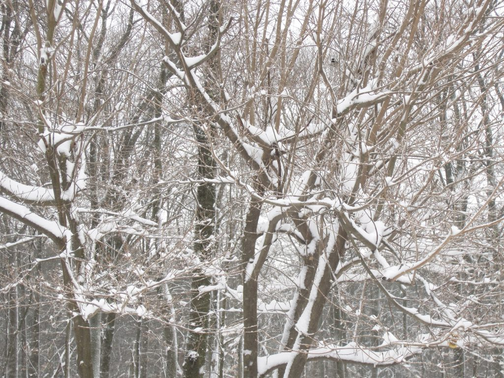 winter snow 09Feb2017 - trees 2