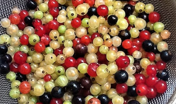 red, black, and white currants picked from our bushes